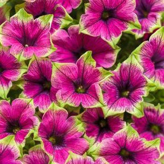 Petunia Supertunia Picasso In Purple 4 1 2 Pot Annual In 2020 Purple Petunias Flower Landscape Purple Flowers Garden