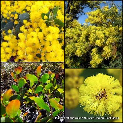 Wattle Mix 3 Types 20 Australian Native Plants Fast Growing Shrubs Trees $29.90