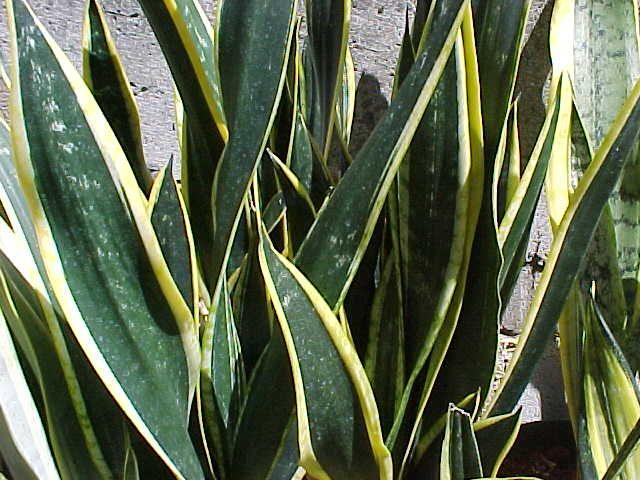 64 best Sansevieria images on Pinterest | Snake plant ...