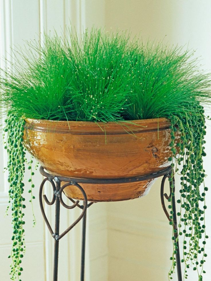 How To String Lights On A Ficus Tree : Best 25+ String of pearls ideas on Pinterest Hanging plants, Window plants and Plants indoor