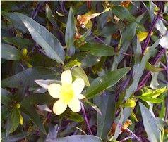Gelsemium sempervirens Carolina Jasmine