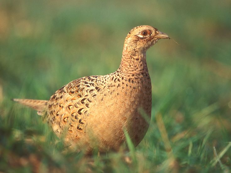 Common Pheasant (Phasianus colchicus) Flavistic (yellowish) Hen