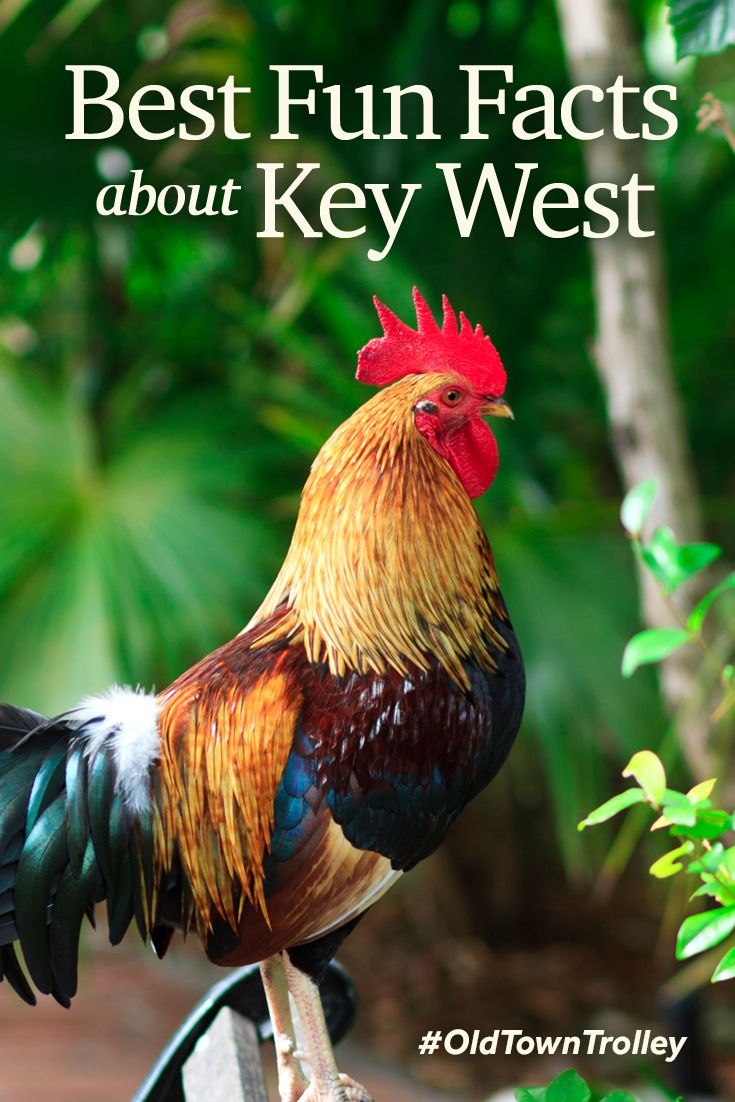 "Key West sure has a culture all its own! Long-time residents are referred to as ""freshwater conchs,"" chickens roam the streets and the island is said to be haunted. #OldTownTrolley"