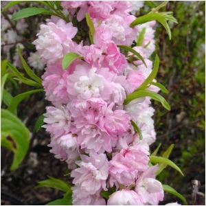 Our Plant of the Week:  Prunus glandulosa (Flowering Almond) Ht. 5-6' Wt. 3-4' - Spring display is phenomenal! Multi-stemmed shrub has double pink blooms that completely cover the plant providing a spectacular show mid/late April through early May. Full Sun  Zone 4-8