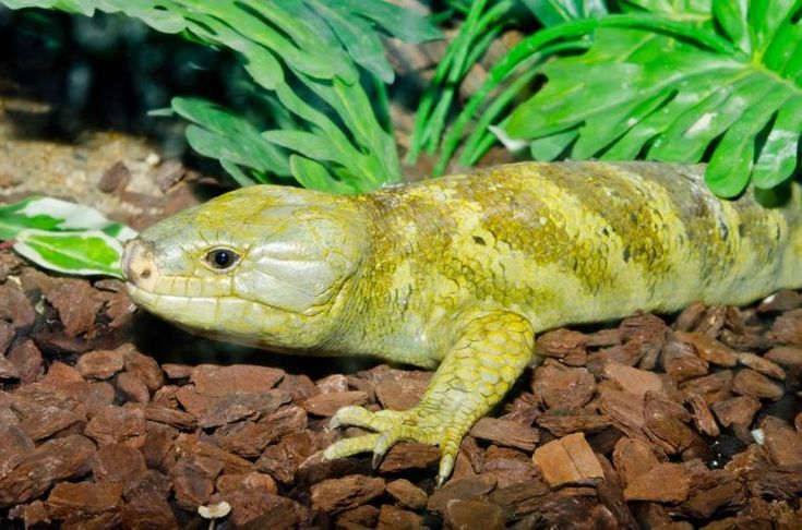 The snakes and lizards have unrecognised importance in world ecosystems. Often predatory, they fit into food webs in some strange ways too.