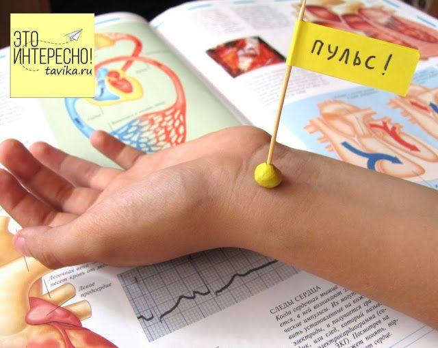 """несколько простых опытов и экспериментов по анатомии для детей на тему """"сердце""""."""