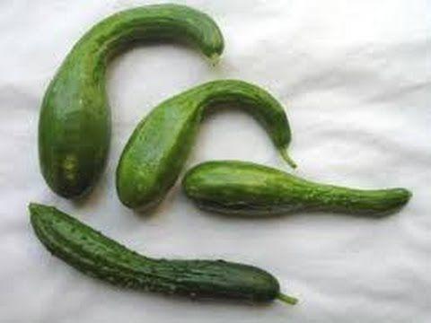 Огурцы Причины и меры при изменение формы плодов и зеленцов. И почему в ...