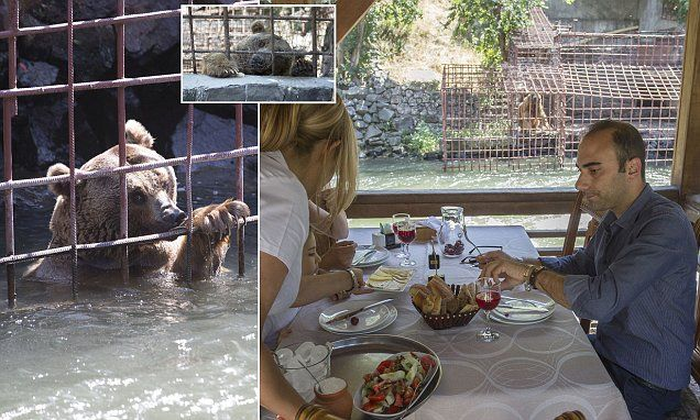 Starving bears beg for scraps as at a riverside restaurant in Armenia #DailyMail