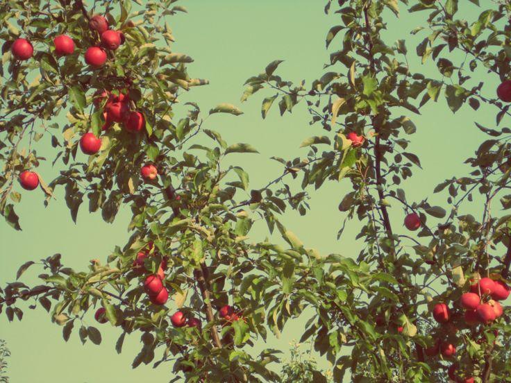 summertime apples