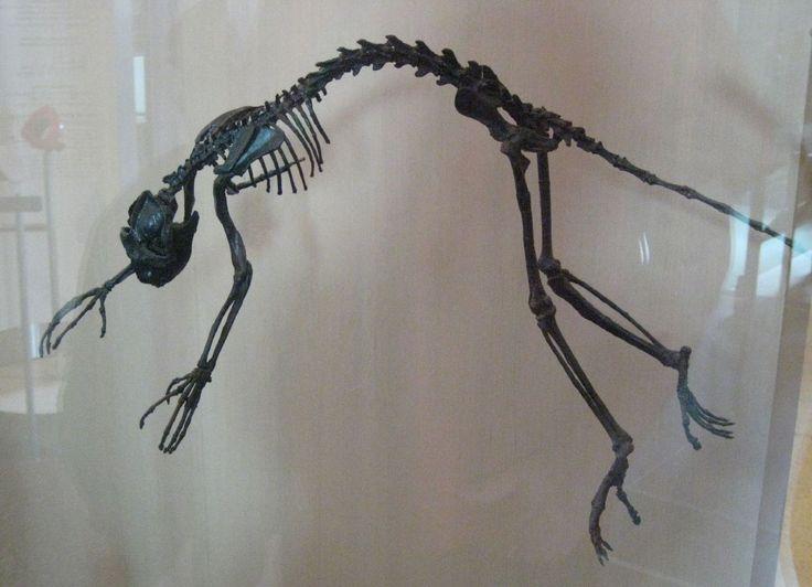 Notharctus tenebrosus AMNH - 人類の進化 - Wikipedia