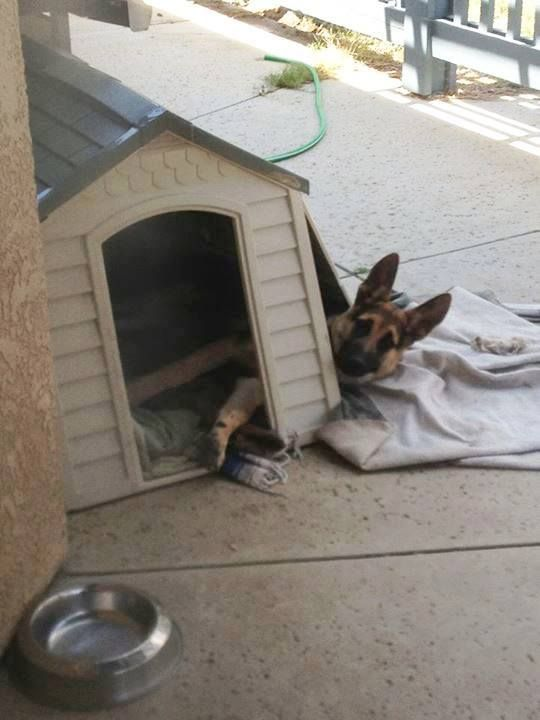 I think I broke my house!!!! #germanshepherd #dog #pet