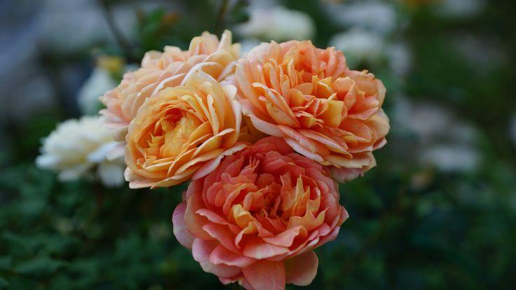 Роза Lady off Shalott by David Austin