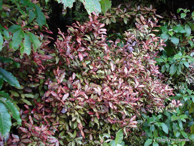 \Pseudowintera colorata (Mountain Horopito)