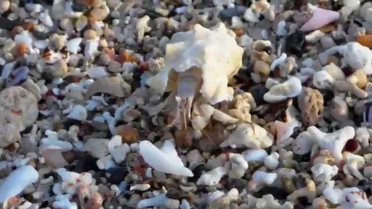 Marsa Alam , Jimmy crab