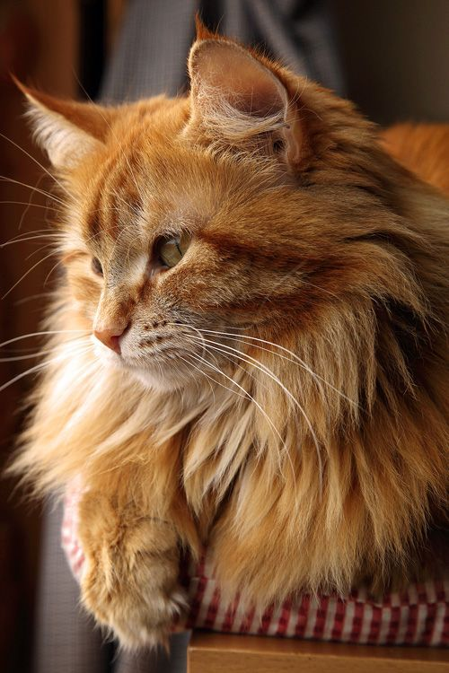 A Maine Coon Cat. Very big cat. I had mine shaved for the summer and after his hair was off he still weighed 22 lbs. His hair was 6 in. long. These were barn cats in Maine when they first sailed to the Americas.