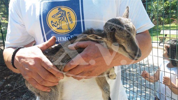 Νεογέννητος αίγαγρος στον Δημοτικό Κήπο Χανίων  Newborn wild goat (Capra aegagrus creticus) in Chania Municipal Garden http://www.haniotika-nea.gr/gennitouria-ston-dimotiko-kipo-chanion/