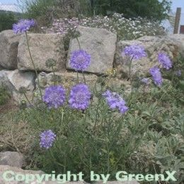Tauben Skabiose Butterfly Blue Scabiosa columbaria Butterfly Blue Stauden