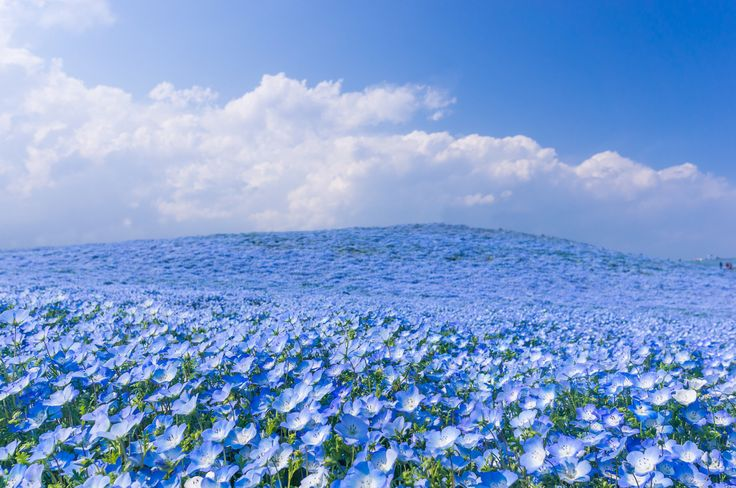 """Hitachi Seaside Park is a sprawling 470 acre park located in Hitachinaka, Ibaraki, Japan, that features vast flower gardens including millions of daffodils, 170 varieties of tulips, and an estimated 4.5 million baby blue eyes (Nemophila). The sea of blue flowers blooms once annually around April in an event referred to as the ""Nemophila Harmony."""
