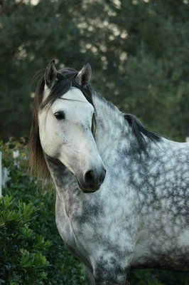 Lusitano stallion Cristal