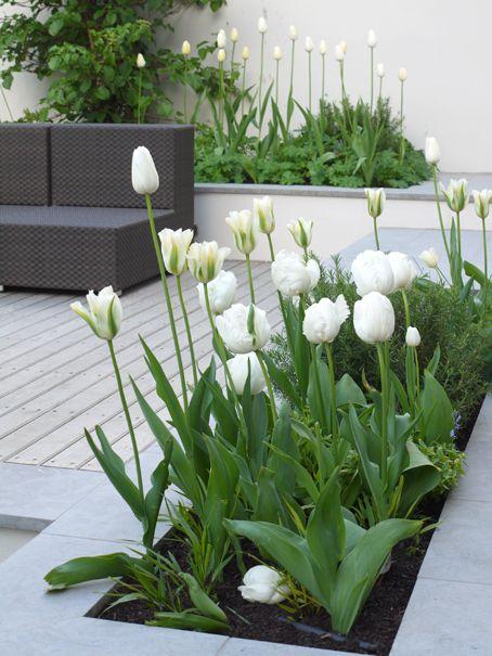 merveilleuses tulipes blanches