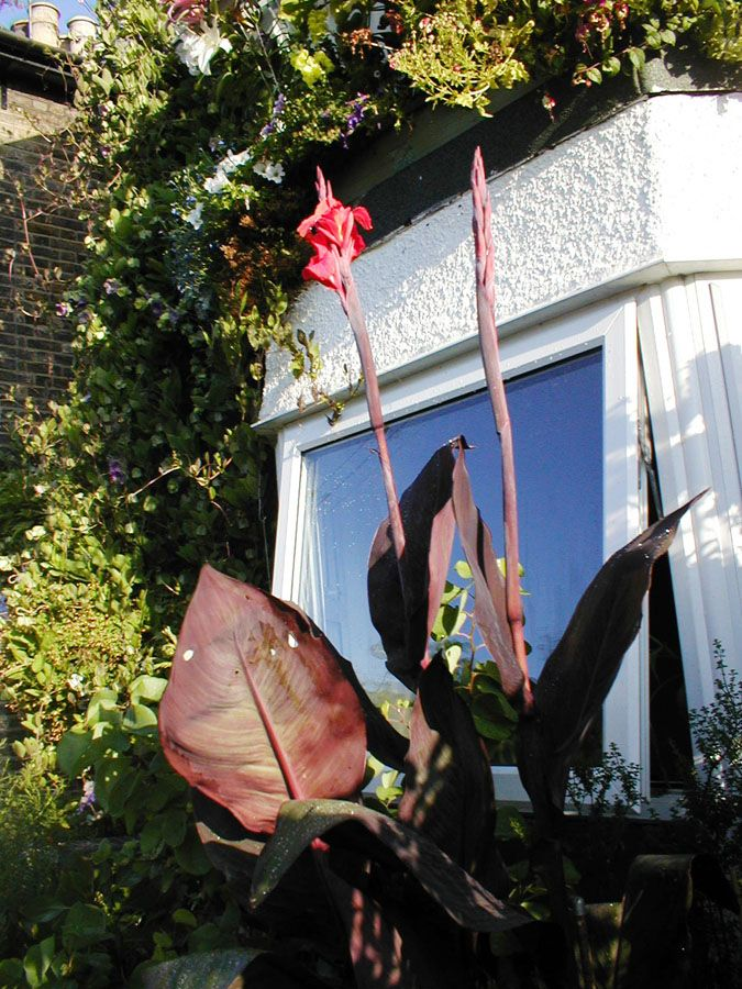 S_canna_red_king_humbert-c_indian_shot_plant4