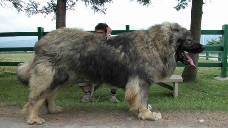 Vicces fotók: 10 hatalmas kutya, aki alig fér be a házba