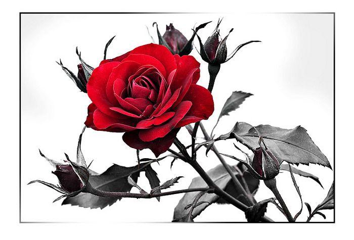 Фотография Чёрная роза - эмблема печали, красная роза - эмблема любви... из раздела натюрморт 1154430 - фото.сайт - Photosight.r