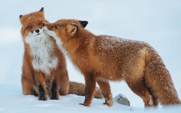 Red Fox Romantic Love Couple Wallpaper HD - Best Wallpaper HD - alu dibond küchenrückwand erfahrung