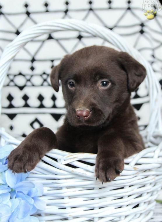 Pin By Cherie Stone On Puppies Labrador Retriever Labrador Lab
