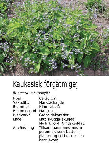 #vår #sommar Brunnera macrophylla - Kaukasisk förgätmigej