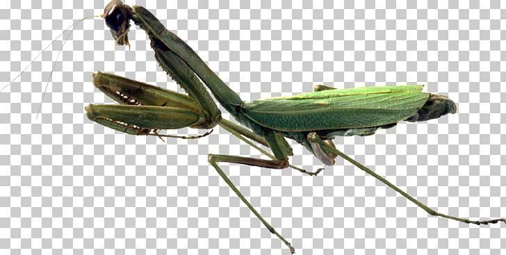 Insect European Mantis Orchid Mantis Grasshopper Png Animals Arthropod Chinese Mantis Cricket Cricket Like Insect Orchid Mantis Insects Png
