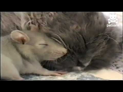 NO FEAR mouse cuddles up next to kitten <3 True vision of what God's unconditional love is all about! :)  (Love thy neighbor alright! heehee!)