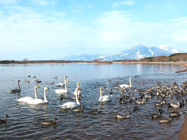 """""""2018年最初の月曜10時、スマスマの時間です。 今年も福島県の紹介を続けて行きたいと思います。 猪苗代湖に来ている白鳥です。毎年来るのですが、今のところ、ちょっと数が少ないような気がします。また写真撮りに行きたいと思います。 #SMAP #スマスマ #復興に向けて手を繋ごう #新しい地図"""""""