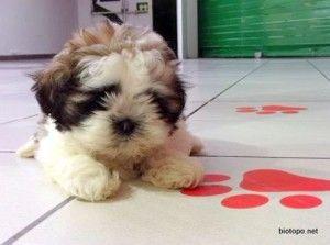 No puede ser más guapa nuestra pequeña Shih Tzu. Es una hembra de 2 meses, ya tiene la primera vacuna, chip, pasaporte y ha nacido en una casa de un criador nacional. Acaba de llegar a nuestra tienda de mascotas de Alcobendas http://biotopo.net/shih-tzu//?utm_source=bt&utm_medium=pt&utm_campaign=shihtzu