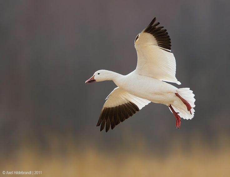 Snow Goose - Photographed in Pennsylvania during spring migration.