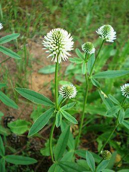 Jetel, Jetel horský,  je rozsáhlý rod rostlin z čeledi bobovité.