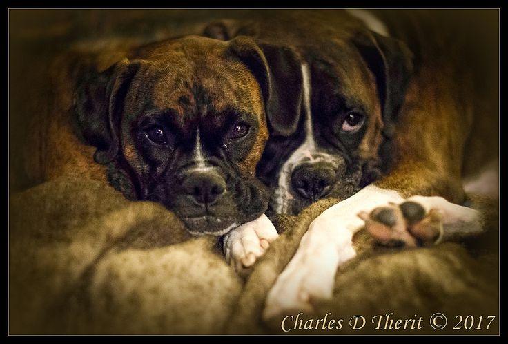 ctofcsco posted a photo:  Boxer best friends  Colorado Springs, CO  en.wikipedia.org/wiki/Boxer_(dog)