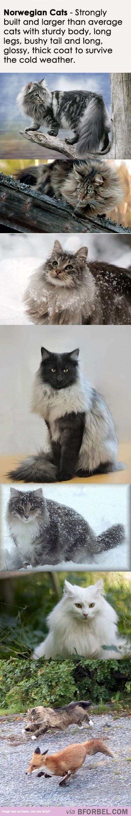 Norwegian Cats Designed To Survive In Harsh Conditions…