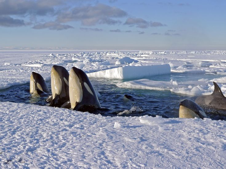 KILLER WHALES: http://www.ethical-hedonist.com/sir-david-attenborough-frozen-planet-the-future-of-mankind_905.html