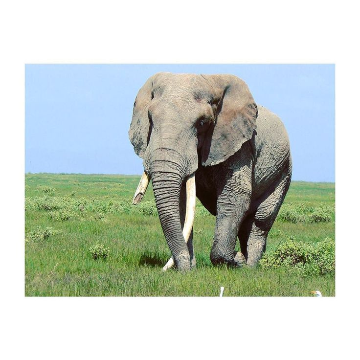 When  are mature male elephants leave the herd to join bachelor herds. Females stay with the herd they were born into. Elephants are very social animals and learn about what to eat where to find water and how to behave from their mothers and older bulls. #isharecauseicare #love #sharelove #kindness #elephant #iloveelephants #elephantlove #iloveanimals #wildlife #africanelephant #asianelephant #stoppoaching #stopivorytrade #extinctionisforever #animalrights #amazingcreatures #largestmammal…