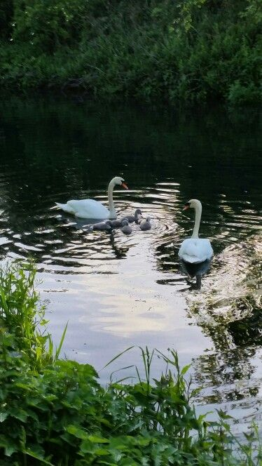Chichester canal swans