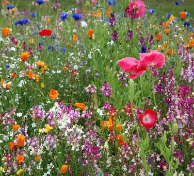 GARDENS FOR WILDLIFE: A woody wildlflower garden captures the spirit of the wilderness in your own backyard. Here, poppies and cornflower thrive in a wildflower field. This type of woody wildflower garden provides a wonderful resting spot for wildlife and humans alike. Cornflower is a full sun annual plant, and poppy is a full sun perennial plant.