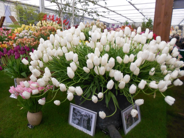 Fabulous tulips at Chelsea Flower Show 2013.