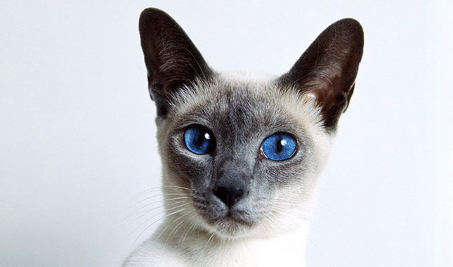 Everything you want to know about Siamese cats including grooming, health problems, history, adoption, finding a good breeder and more.