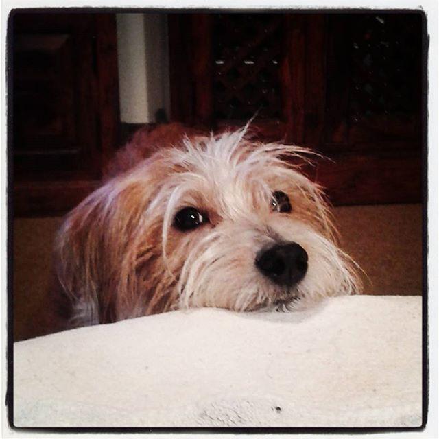 #Pumba #koira #dog #kromfohrländer #lemmikki #kromi #kromfohrlander  #tammikuu2016