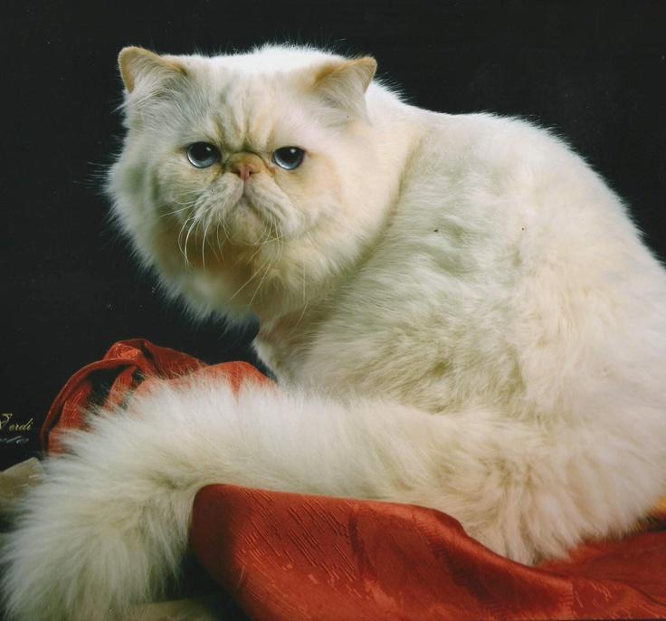 Himalayo - Esta raza es el resultado de un cruce de gato siamés con persa. Por ello, es un gato coloreado como el siamés, pero que tiene los rasgos característicos de la raza Persa. Esta combinación de rasgos le da un aspecto de elegancia y distinción. Es compañero, cariñoso, muy inteligente y cómodo. No acostumbra maullar y no requiere de mucho espacio, por lo que es ideal para un apartamento o como compañero para los niños. Disfruta de la vida casera y es considerado un buen cazador.