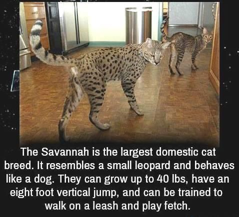 Image result for  big cats memes