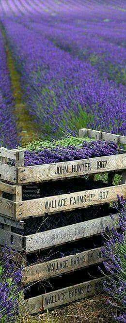 lavender harvest - SO INCREDIBLY BEAUTIFUL!! - HAVE YOU EVER TRIED PICKING A BUNCH OF LAVENDER! - IT TAKES FOREVER!!! (I wonder how they manage to do their harvest!)