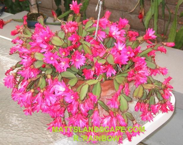 Easter Cactus How much to Water? How much to water your Easter Cactus depends on the time of year; Water well during the growing season March thru September in the Northern Hemishere and sparingly when semi-dormant October thru Febuary. -