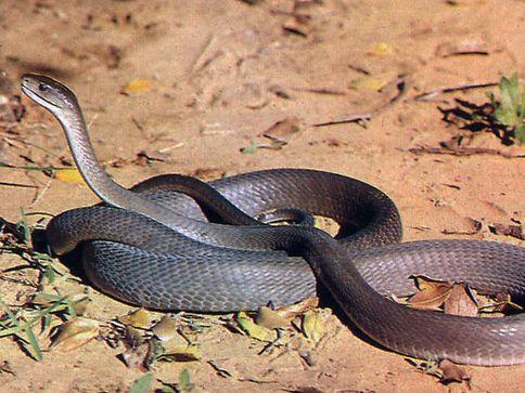 La Mamba Negra es la serpiente más veloz del mundo y la más venenosa y larga de África (hasta 4,5 metros). Vive en colinas y sabanas, su veneno es letal. Su nombre hace referencia al color interior de su boca que abren al ser amenazadas. https://www.youtube.com/watch?v=juEv0oonfak